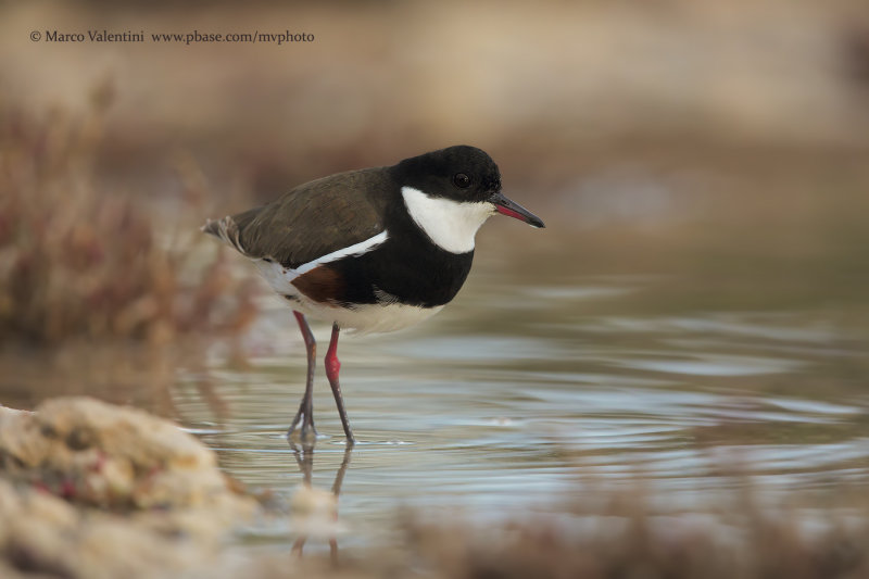 Red-kneed Dotterel - Erythrogonys cinctus