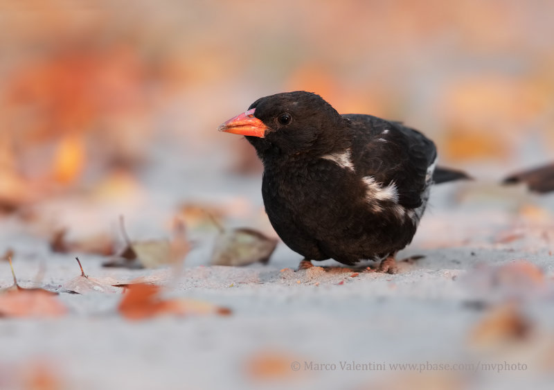Red-billed Buffalo weaver - Bubalornis niger