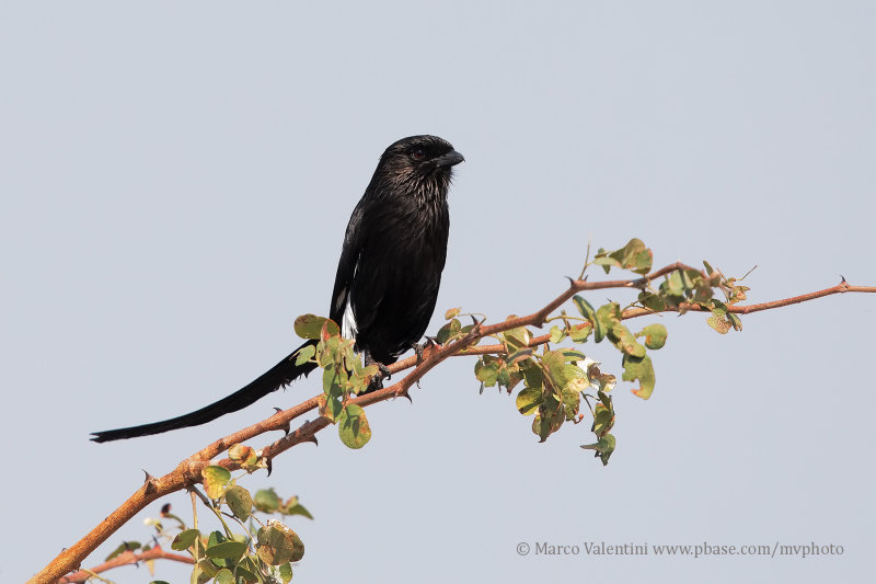 Magpie Shrike - Urolestes melanoleucos