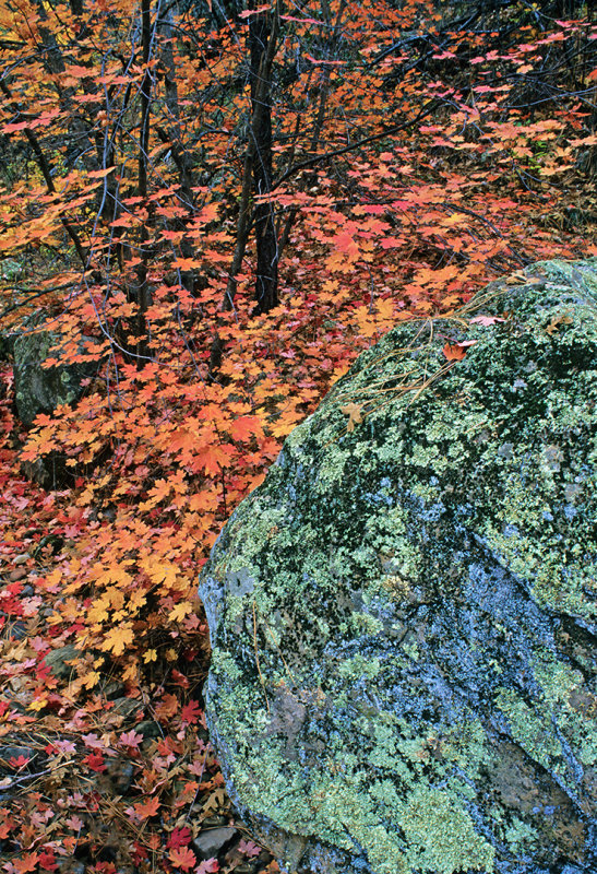 Lichen covered rock in Secret Canyon, Red Rock-Secret Canyon Wilderness,  AZ