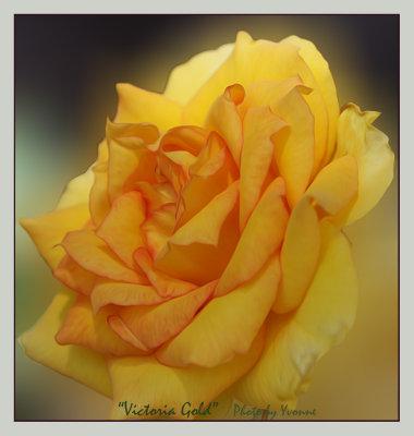 Spring & Summer Roses in my garden 2016-17
