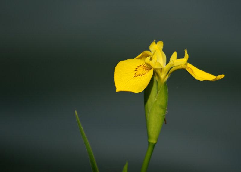 164:365<br>Yellow Iris alone