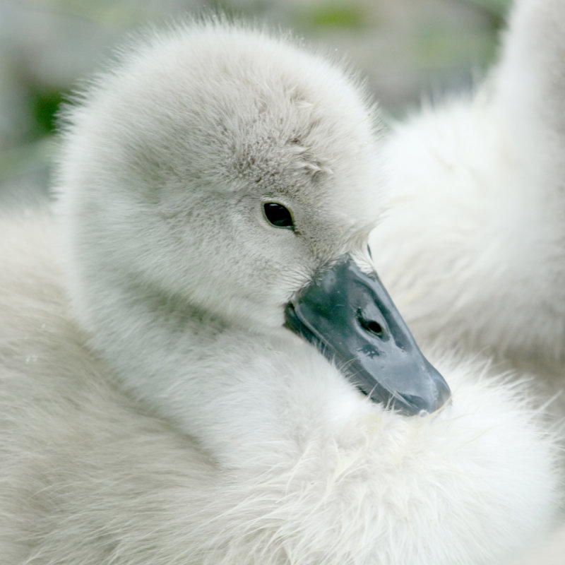 165:365<br>fluffy young cygnet