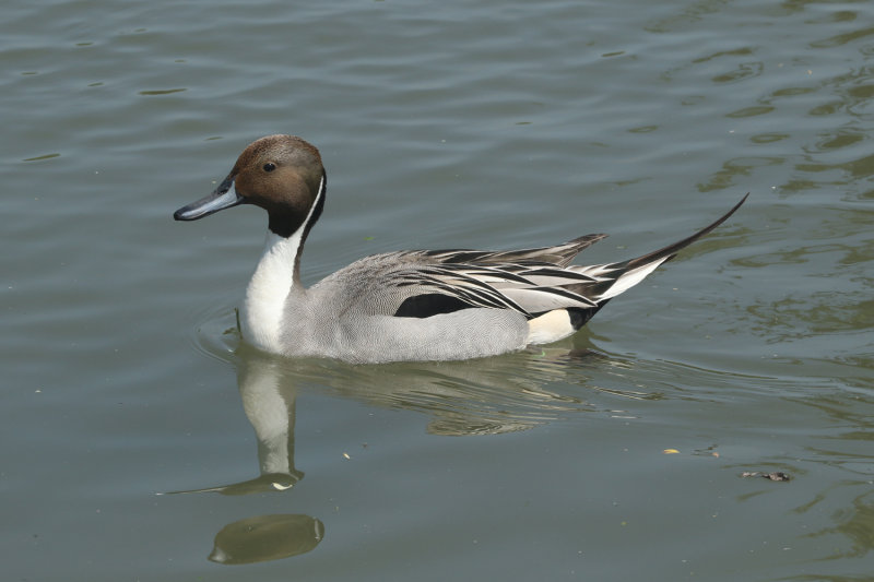 167:365<br>Northern Pintail duck