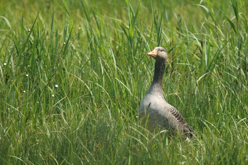 168:365<br>Greylag in grass