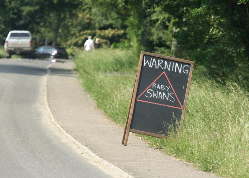 181:365<br>Warning: Baby Swans