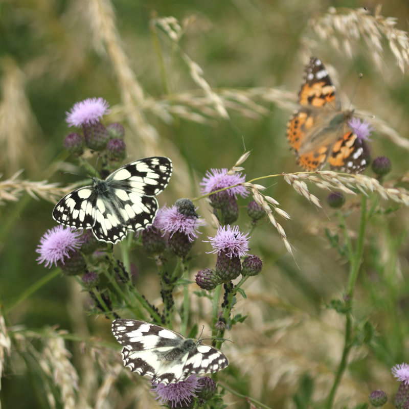187:365<br>butterflies in abundance