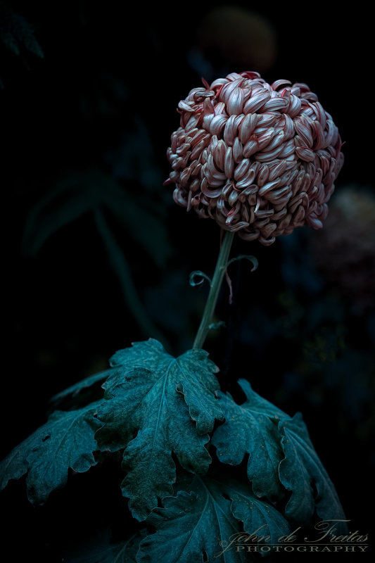 2017 - Chrysanthemums, Floral Showhouse - Niagara Falls, Ontario - Canada