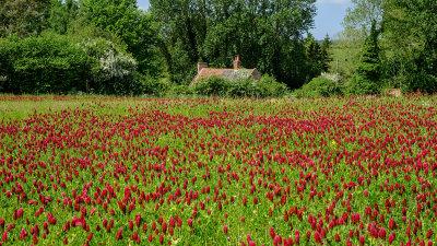 Crimson Clover (Trifolium Incarnatum)