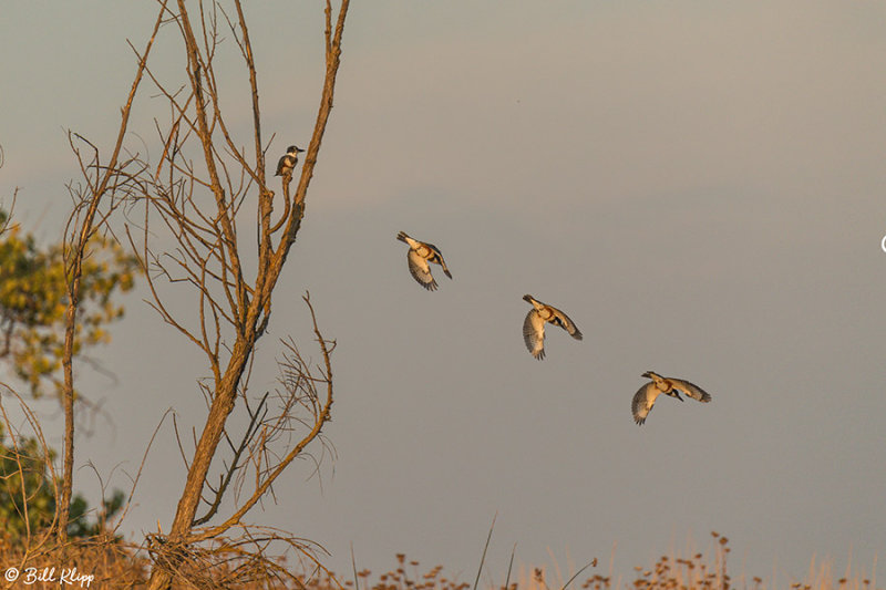 Belted Kingfisher Composite  2