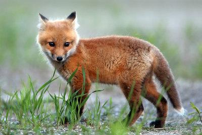 Fox Pup - I'm So Darn Cute!