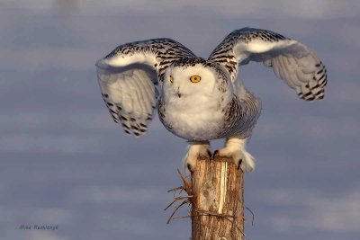 Snowy Owl - Get Ready, Here I Come!