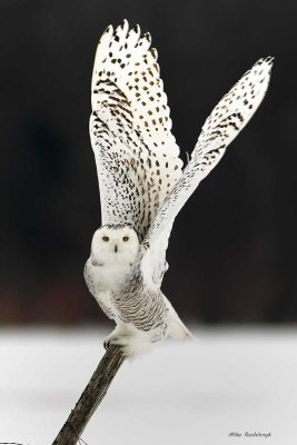 Snowy Owl - Off to Meet the New Year