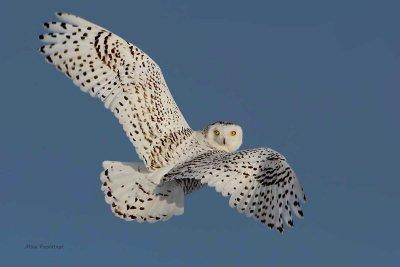 Snowy Owl - Flashback On the Fly