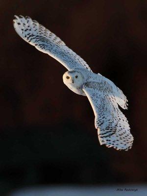 Ghost Rider - Snowy Owl
