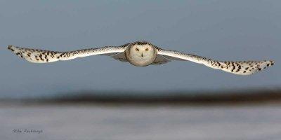 On a Level Plane - Snowy Owl