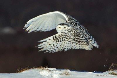 Snowy Owl - Phantom Menace