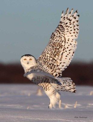 Spring-Loaded Snowy Owl