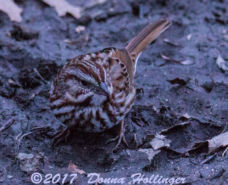 First Song Sparrow this year