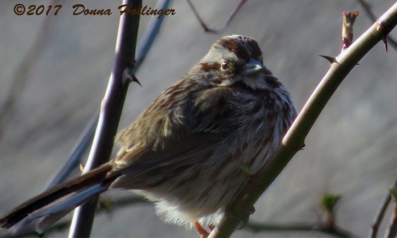 Swamp Sparrow At Blair Pond