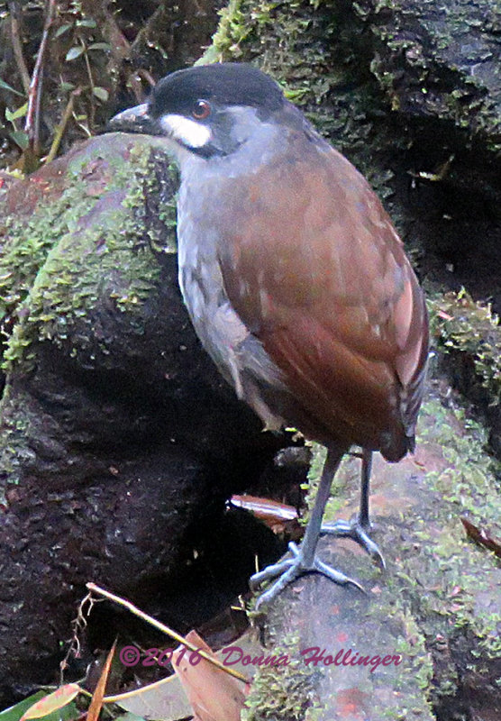 JocoToco Antpitta on the Forest Floor