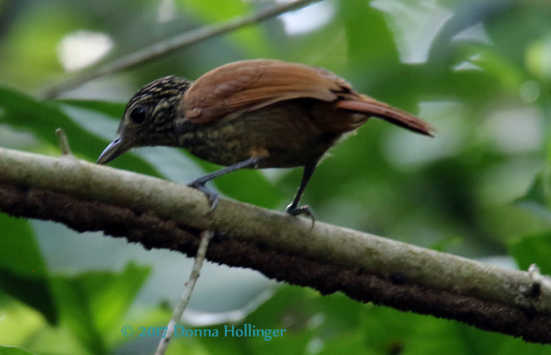 Female Black Antshrike