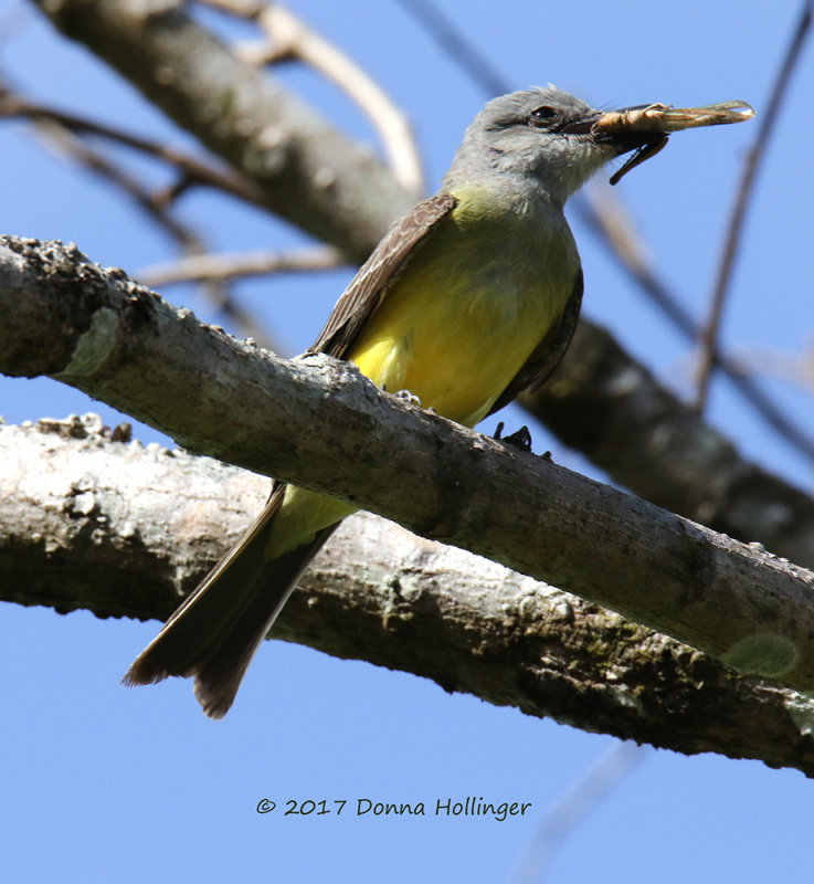 Tropical Kingbird with Katydid