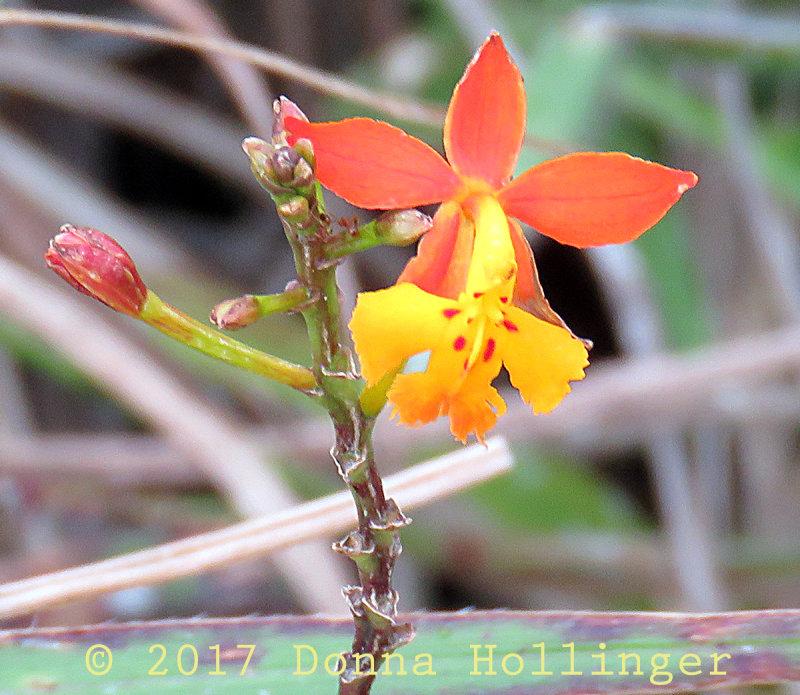 Yellow Orange Orchid