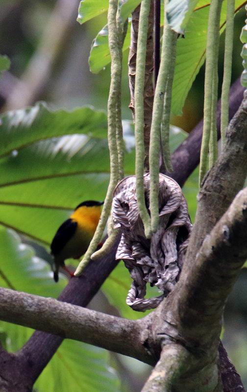 Golden-collared Manakin on Cecropia Fruit