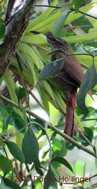 Cocoa Woodcreeper (Xiphorynchus Susserans)