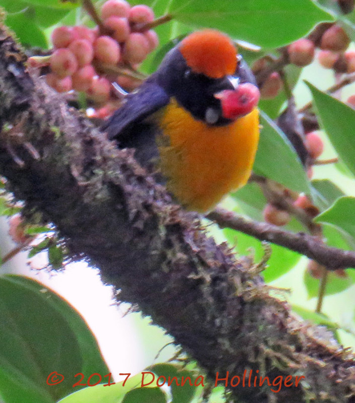 Tawny Capped Euphonia Eating Figs