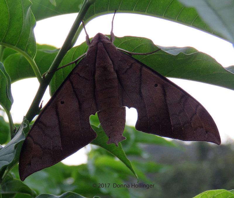 Sphinx Moth  Pachylia darceta.
