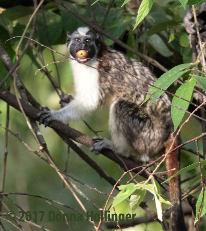 Geoffreys Tamarin Eating a small apple