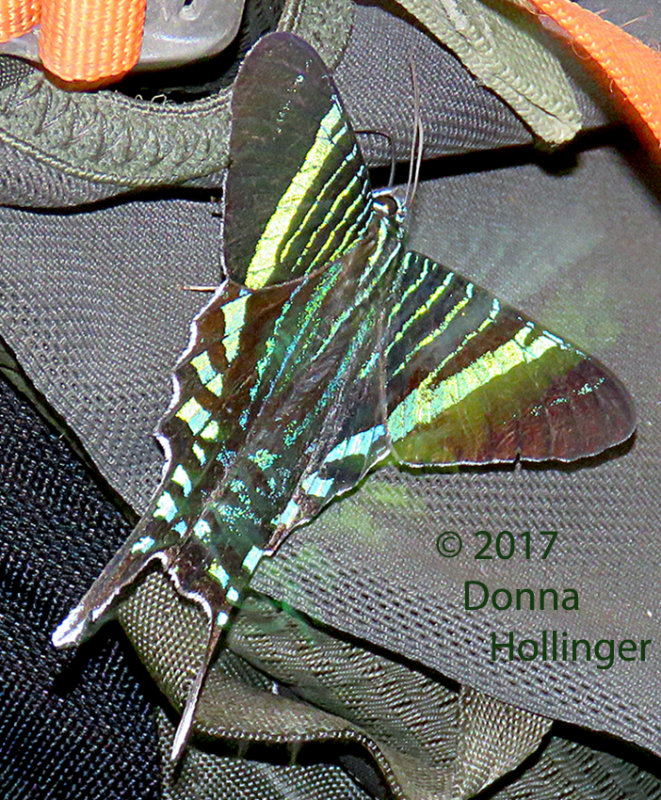 Darien Green Butterfly on a backpack With Canopy Camp Guide Eliazar