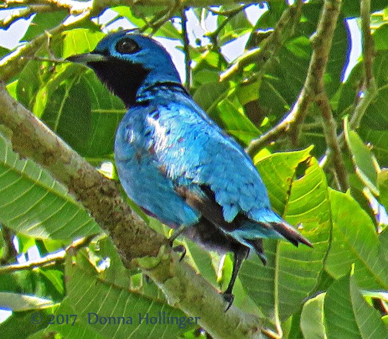 Blue Cotinga