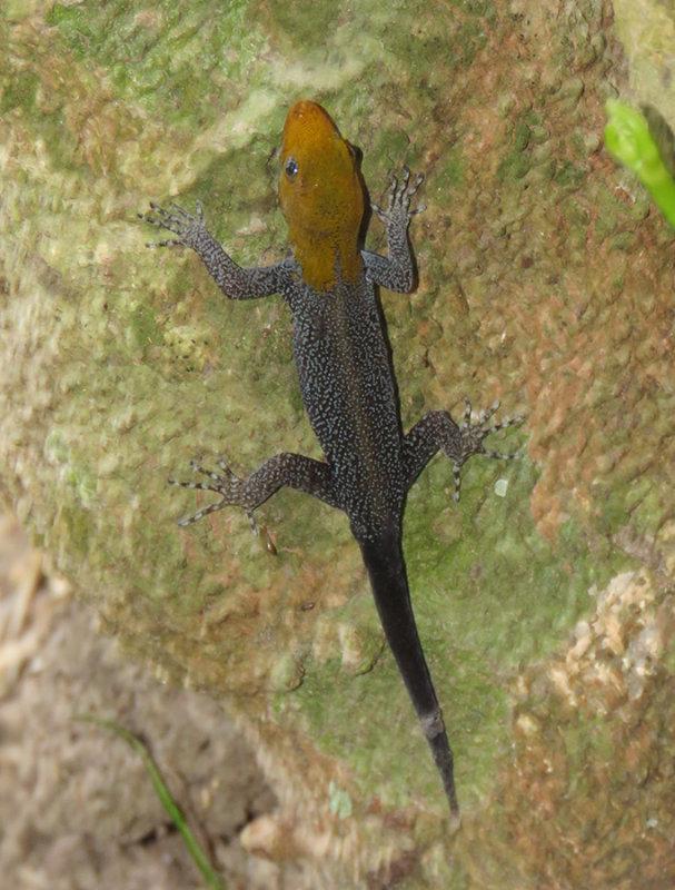 golden headed lizard