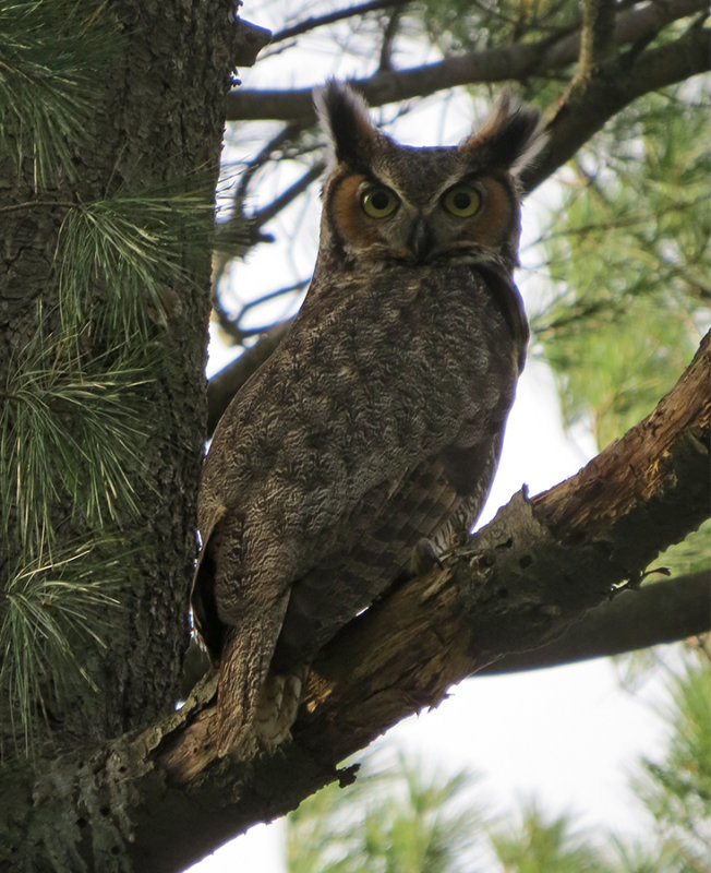Great Horned Owl Female Mature