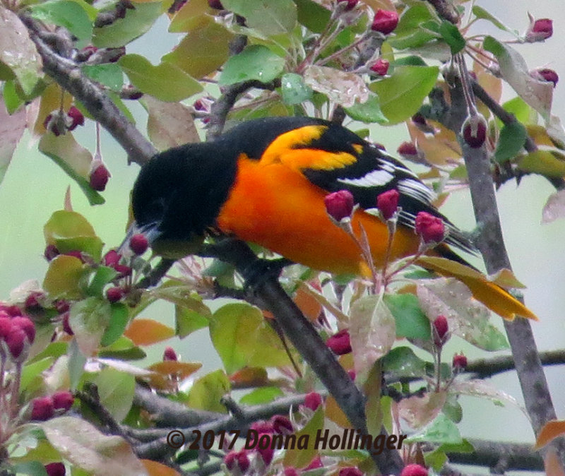 Baltimore Oriole in a Crabapple Tree