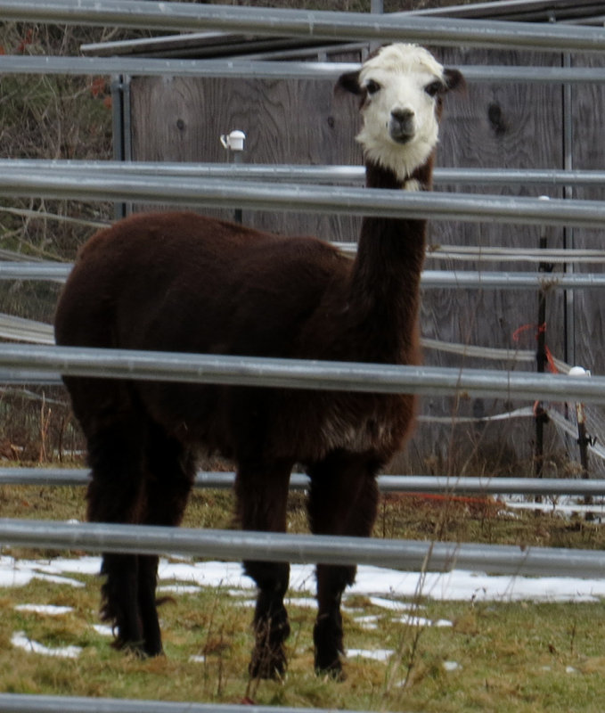 Wallaces Alpaca
