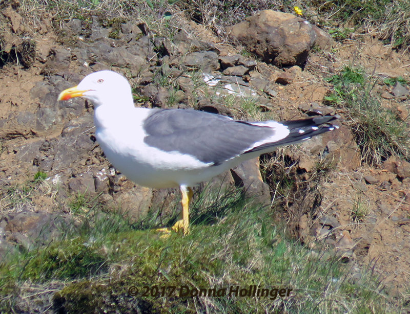 Yellow Footed Gull