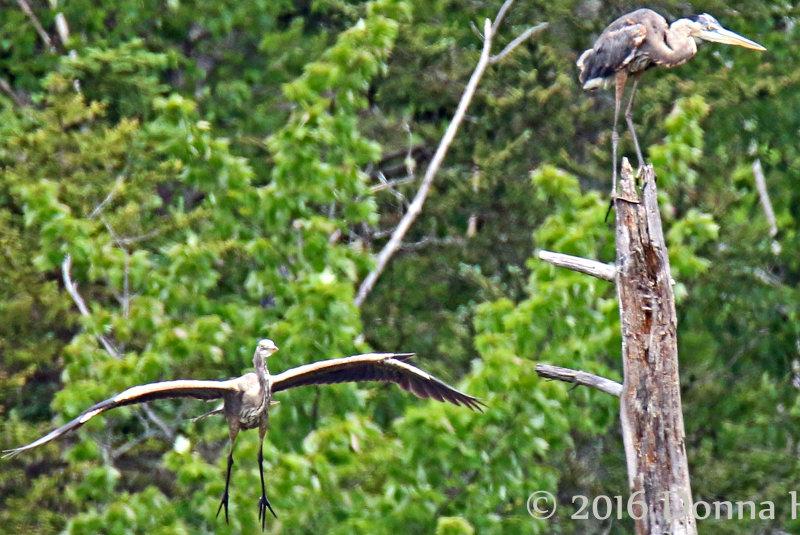 2 immature Herons