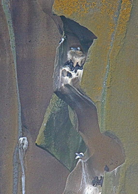Alcids (razorbills) nesting in Westerman Rock Niches