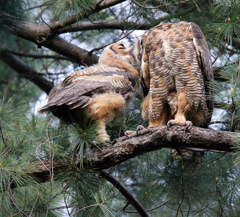 First he Coughs, and then feeds the Owlette