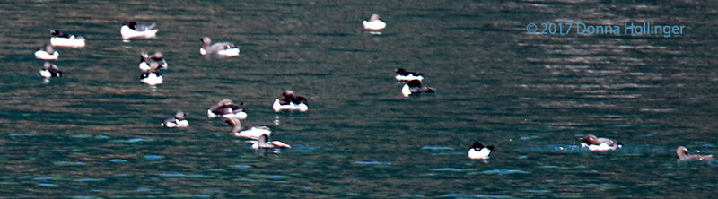 Flock of Razorbacks?