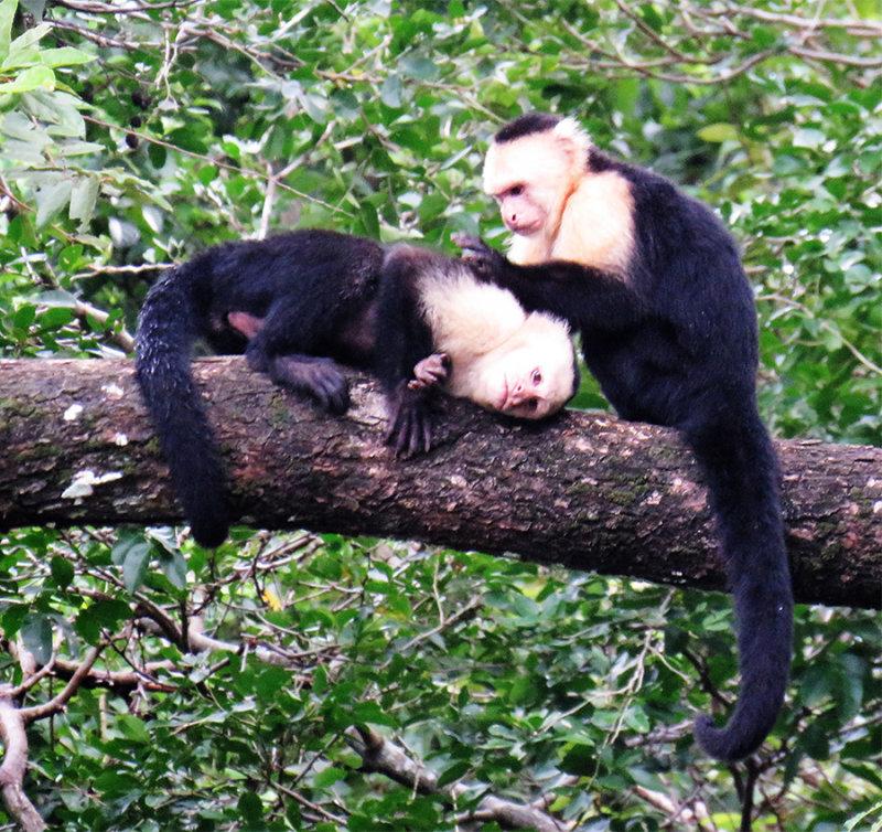 Cappachin Monkeys Groomiing