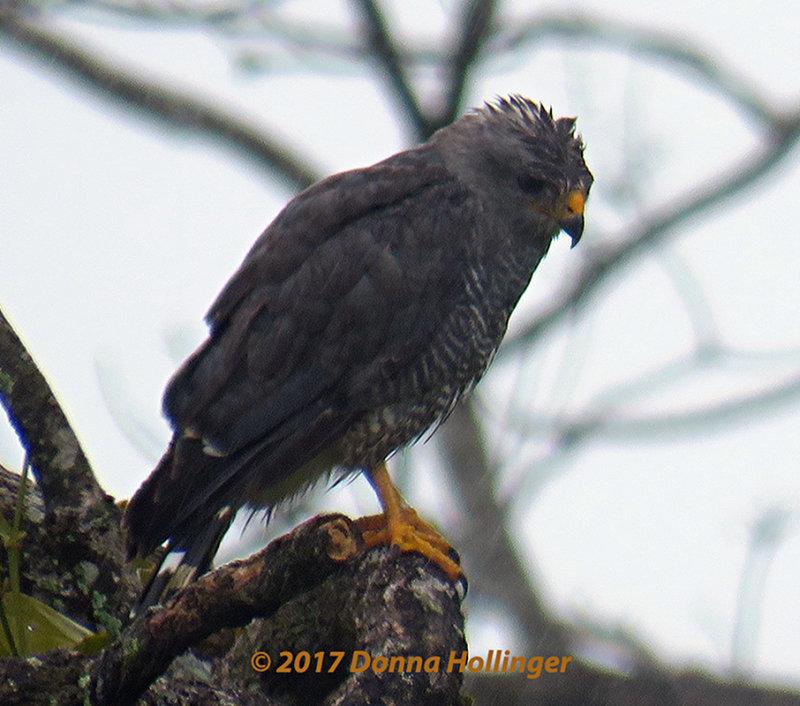 GrayLined Hawk