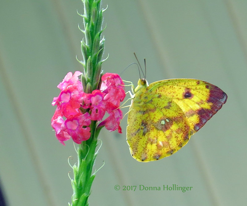 VERVAIN bUTTERFLY