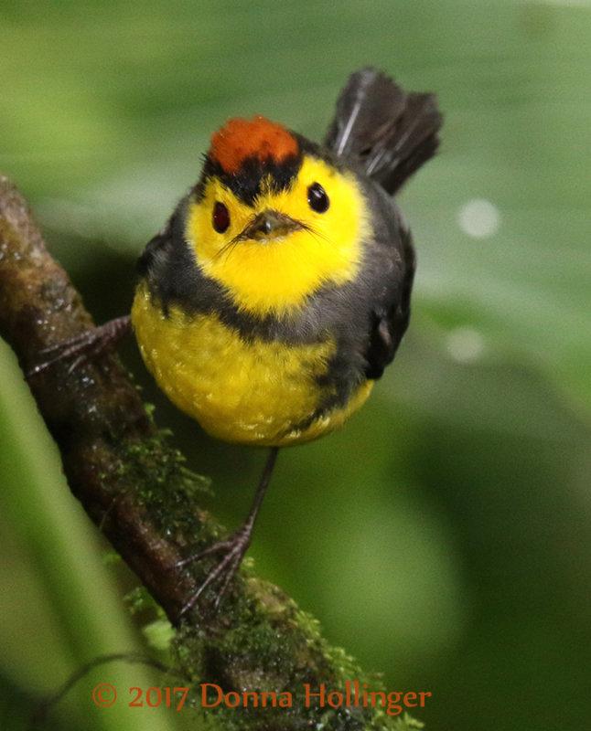 Collared Redstart (adult)