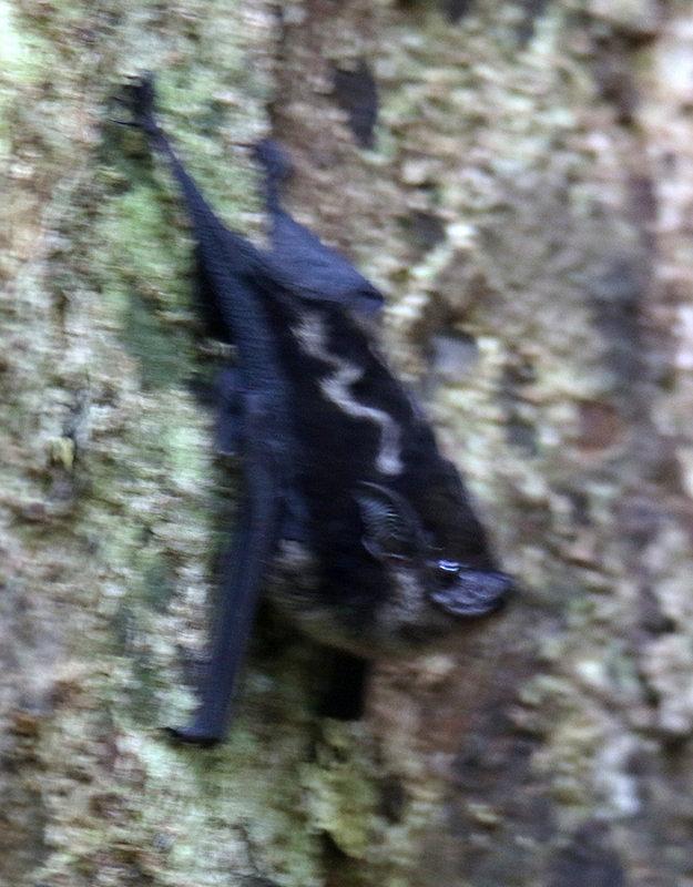 Panama Bat  (look at his ears!)