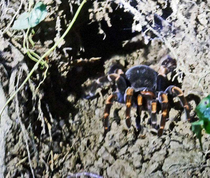 Female Tarantula in a mud cave at night!